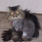 Can I Give My Cat a Mohawk?