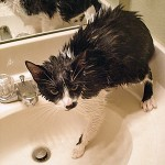 How Can I Give My Cat a Bath?
